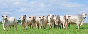 sodomia bovina e homeopatia