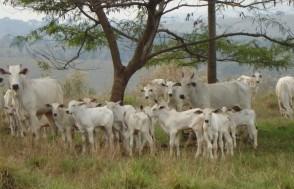 Eficiência Alimentar de Bovinos na Seca
