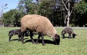 producao ovina