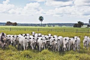 1111_pasto seca bovino gado