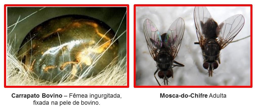 mosca-carrapato-bovino-controle