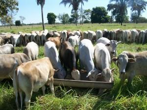 estresse térmico gado