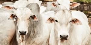 carrapato bovino