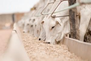 confinamento-bovino