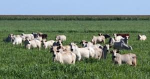 extresse termico ou calorico bovinos boi