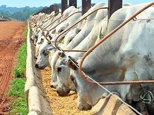 gado inteiro e conversão alimentar