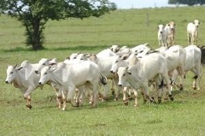 gado-pr-agritultura-300x199