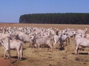 gado seca