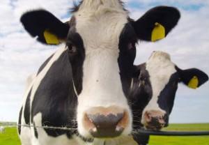 mamite vaca