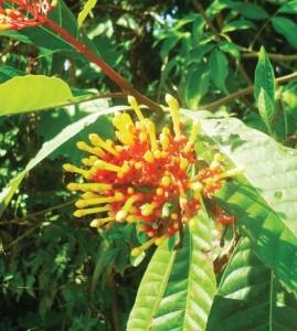 Planta Toxica Bovinos