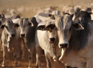 gado macho confinado